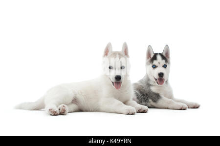 Two puppies of siberian husky resting on floor after activity. - Stock Photo