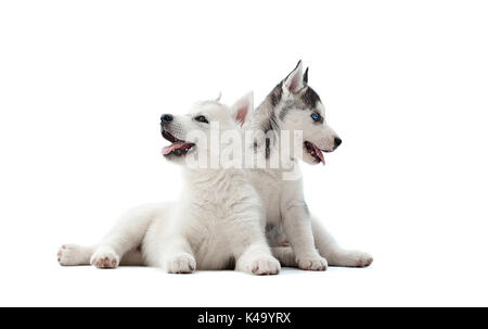 Two pretty puppies of siberian husky dog waiting for food. - Stock Photo