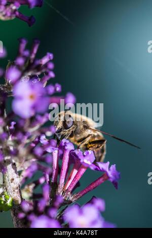 A common drone fly (Eristalis tenax) on a buddleia - Stock Photo