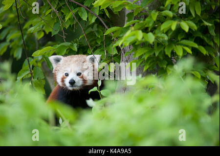 Red Panda, Ailurus fulgens, Captive, China, lesser panda and red cat-bear, is a small arboreal mammal native to - Stock Photo