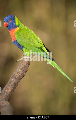 Rainbow Lorikeet, Trichoglossus haematodus, (captive), species of parrot found in Australia