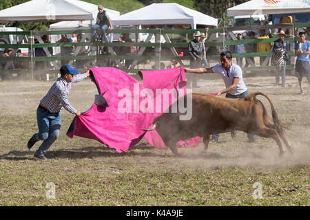 May 28, 2017 Sangolqui, Ecuador: young men holding  cape front of a charging bull at a rural amateur bullfight in - Stock Photo