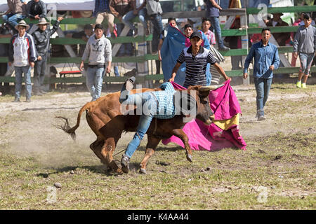 May 28, 2017 Sangolqui, Ecuador: bull throws off young cowboy at a rodeo in the Andes - Stock Photo