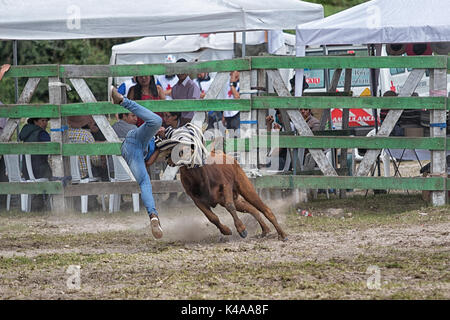 May 28, 2017 Sangolqui, Ecuador: young man thrown in the air by a bull at a rural amateur rodeo in the Andes - Stock Photo