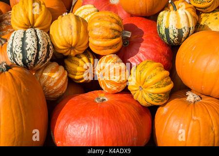 Different varieties of pumpkins, pumpkins, Baden-Württemberg, Germany - Stock Photo
