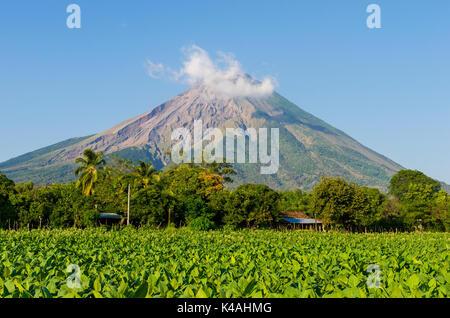 Tobacco field in front of the volcano Concepcion, Ometepe, Nicaragua Lake (Lago Cocibolca), Nicaragua - Stock Photo