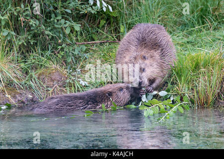 Two European beavers (Castor fiber), dam and young animal at the bank border, feeding, Upper Austria, Austria - Stock Photo