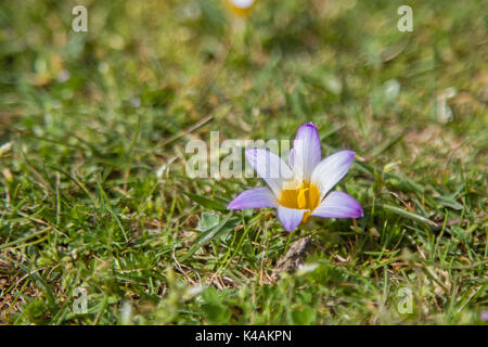 Elves Crocus On A Meadow In Croatia - Stock Photo