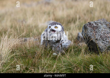 Juvenile Snowy Owl Nyctea Scandiaca on the ground in open fell country - Stock Photo