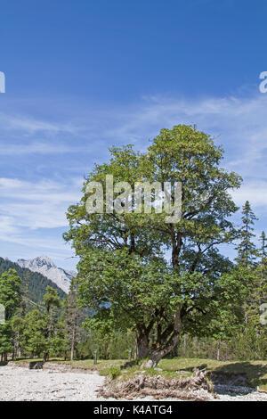 Mighty Maple Tree In Eppzirler Valley - Stock Photo
