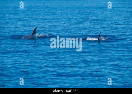 Two bottlenose dolphin swimming in the Atlantic Ocean. - Stock Photo