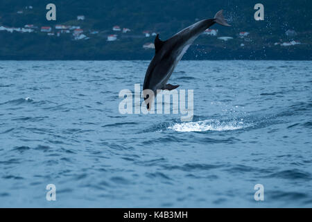A bottlenose dolphin leaping from the water off Lajes do Pico, premier whale watching destination in the Azores. - Stock Photo