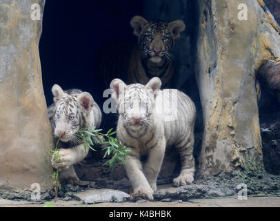Jinan, China's Shandong Province. 6th Sep, 2017. Tiger triplets meet the public at the Jinan Zoo in Jinan, capital - Stock Photo