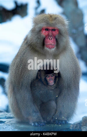 Japanese Macaque, Macaca, fuscata, adult with young, cuddling, Jigokudani National Park, Nagano, Honshu, Asia, primates, - Stock Photo