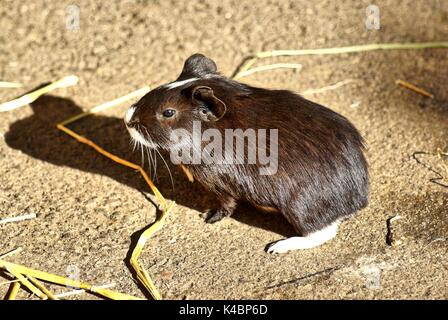 Black And White Short Hair Guinea Pig Baby - Stock Photo
