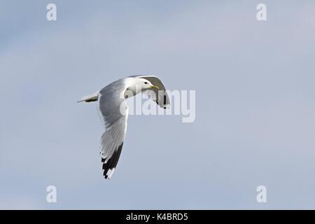 Common Gull Larus canus adult Grutness Shetland June - Stock Photo