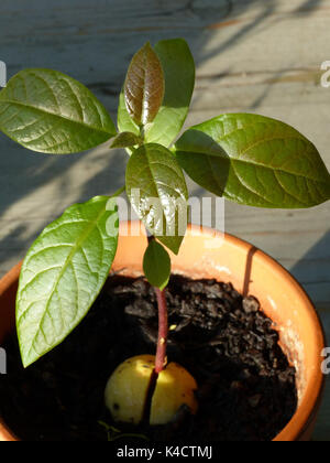 Avocado Plant From A Core - Stock Photo