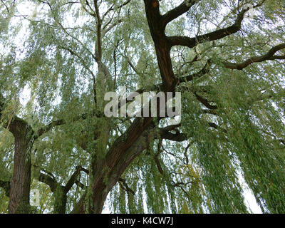 A Willow Looked Into The Treetop From Below, Weeping Willow In The Early Autumn - Stock Photo