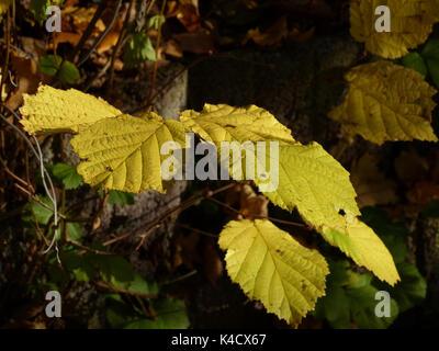 Hazelnut Branch In Autumn - Stock Photo