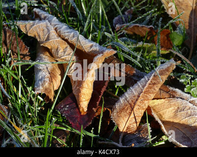 Brown Frosty Autumn Leaves Lying On The Ground - Stock Photo