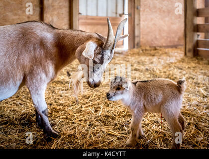 A loving look from mother nanny goat to newborn baby goat, umbilical cord still visible, taking first steps in barn - Stock Photo
