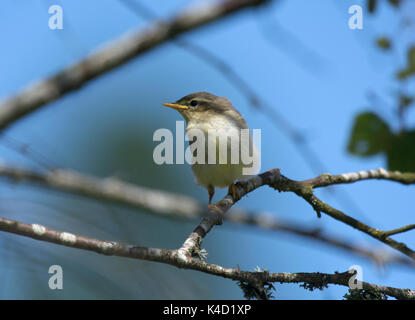 Willow Warbler, Phylloscopus trochilus, perched on branch at edge of woods in Scotland - Stock Photo