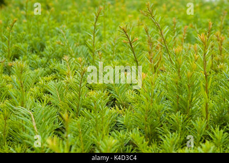 close-up to a yew hedge - Stock Photo