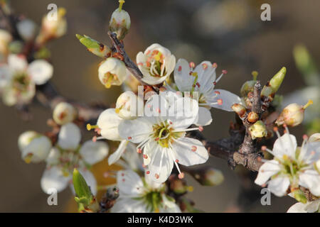 Blooming Whitethorn - Stock Photo