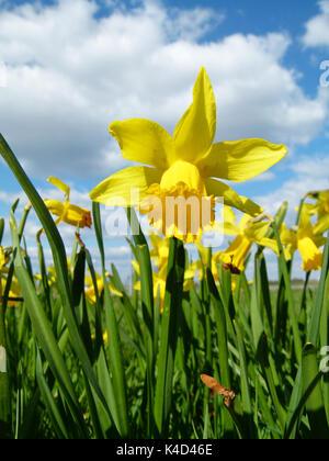 Daffodils, Narcissus Pseudonarcissus - Stock Photo