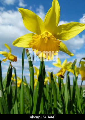 Daffodil, Narcissus Pseudonarcissus - Stock Photo