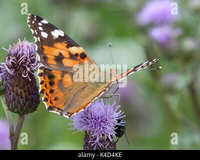 Painted Lady Butterfly Vanessa Cardui On Plume Thistle Flower Cirsium Arvense - Stock Photo