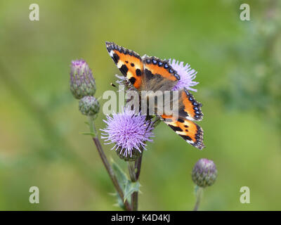 Butterflies - small tortoiseshells sitting on a flowering white ...