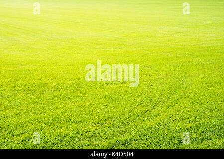 Green grass background of a short cut golf lawn - Stock Photo