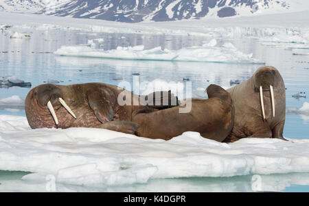 Walruses on ice flow in Franz Joseph Land Arctic - Stock Photo