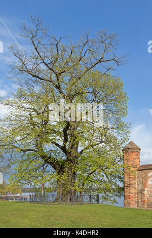 Wichmann Lime Tree, Neuruppin, Brandenburg, Germany - Stock Photo