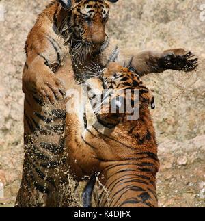 Hot day. Closeup portrait  of two Indo-Chinese Tigers, playing in the lake in the Buddhist Tiger Temple, Kanchanaburi, - Stock Photo