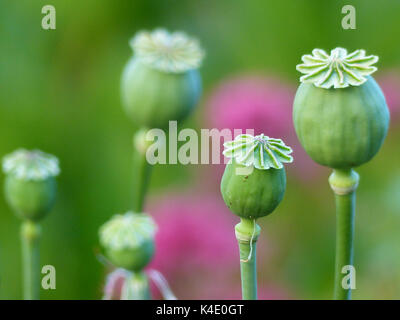 Poppy Capsules Of Withered Poppies, Opium Poppy, Ornamental Version - Stock Photo