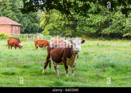 A field of brown and white cattle graze on the grass just outside of the small town of Watton in Norfolk, seen in - Stock Photo
