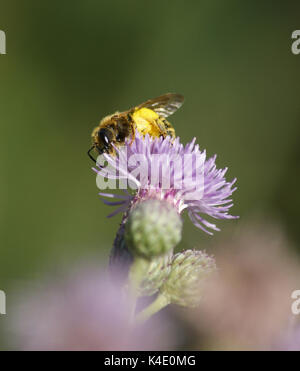 Bee, Full Of Pollen, Sitting On A Thistle Flower, Cirsium Arvense - Stock Photo