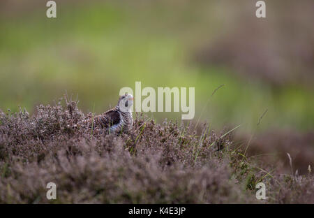 Cuckoo, Cuculus canorus, juvenile resting on heather on moorland, Taken June, Lochindorb, The Highlands, Scotland, - Stock Photo