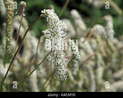 Nodding silky tassels of tiny white flowers on garden border plants nodding silky tassels of tiny white flowers on garden border plants develop into frothy stamens in mightylinksfo
