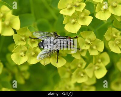 Schmeissfliege, Fliege, Calliphora, vicina - Stock Photo