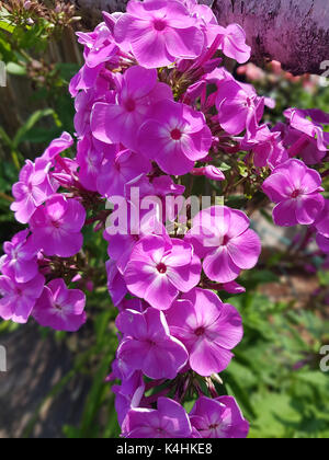 Phlox; Staudenphlox; paniculata - Stock Photo