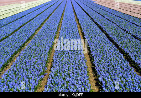 Cultivation of blue Grape hyacinth (Muscari), Production of flower bulbs, flower bulb region Bollenstreek, Noordwijkerhout - Stock Photo