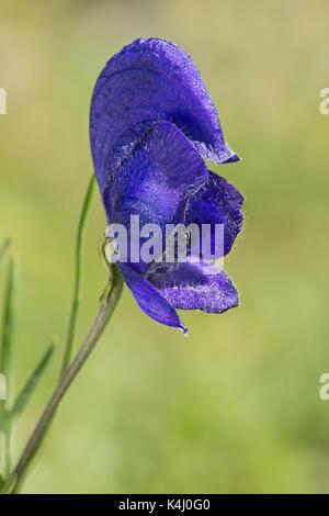 Single flower of the Blauer Eisenhut (Aconitum napellus), Gasterntal, Valais, Switzerland - Stock Photo