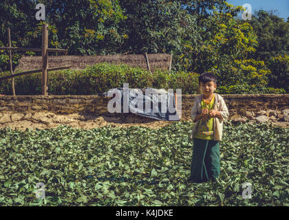 Shan State, Myanmar, Burma. A young boy standing amongst tea leaves that are drying in the sun. - Stock Photo