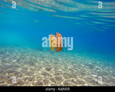 Colorful jellyfish in the Aegean sea. Cotylorhiza Tuberculata Jellyfish. - Stock Photo