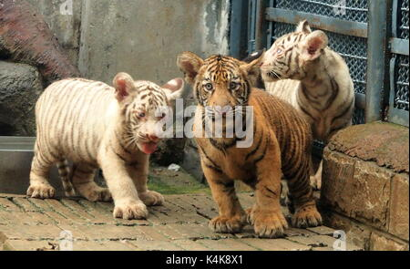 Jinan. 6th Sep, 2017. Tiger triplets meet the public at the Jinan Zoo in Jinan, capital of east China's Shandong - Stock Photo