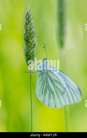 Green-Veined White Butterfly resting on grass - Stock Photo