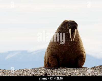 Majestic adult walrus on a beach in Svalbard, Norway - Stock Photo